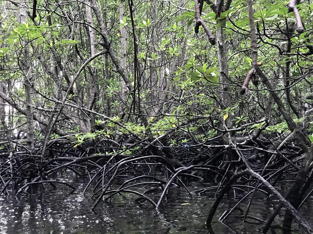 309 Mangroven (M)